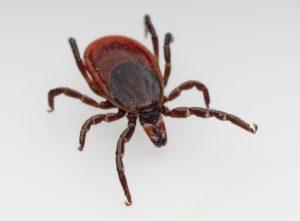 Ticks - residential pest control